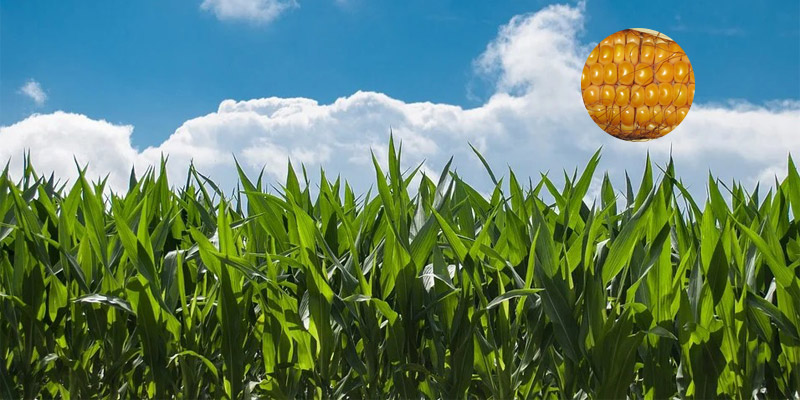 Potassium humate can increase the corn yield and quality