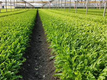 Fulvic Acid Fertilizer application