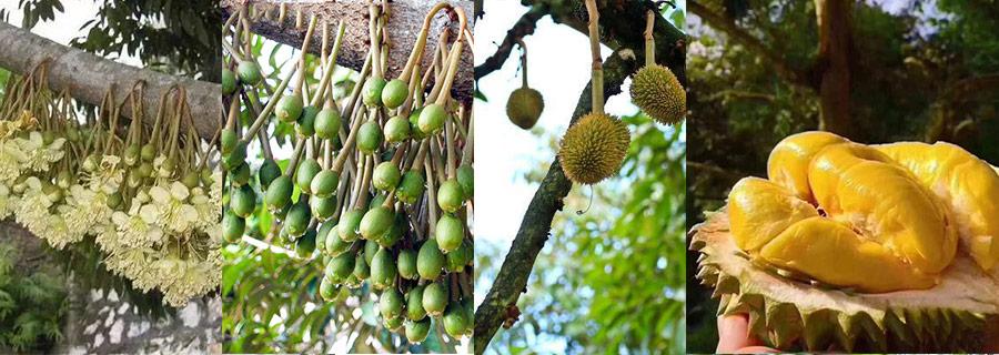 HUMIC FERTILZIER FOR DURIAN humic fertilizer for durian